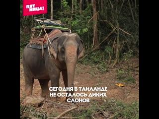 В Таиланде слонов бьют до подчинения. Орёл и Решка
