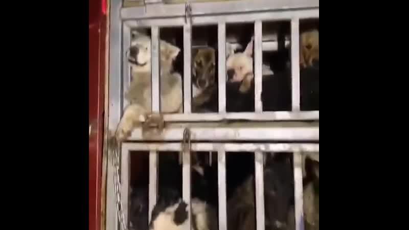Остановленный грузовик с собаками ехавший на варварский фестиваль в Китае ч 2
