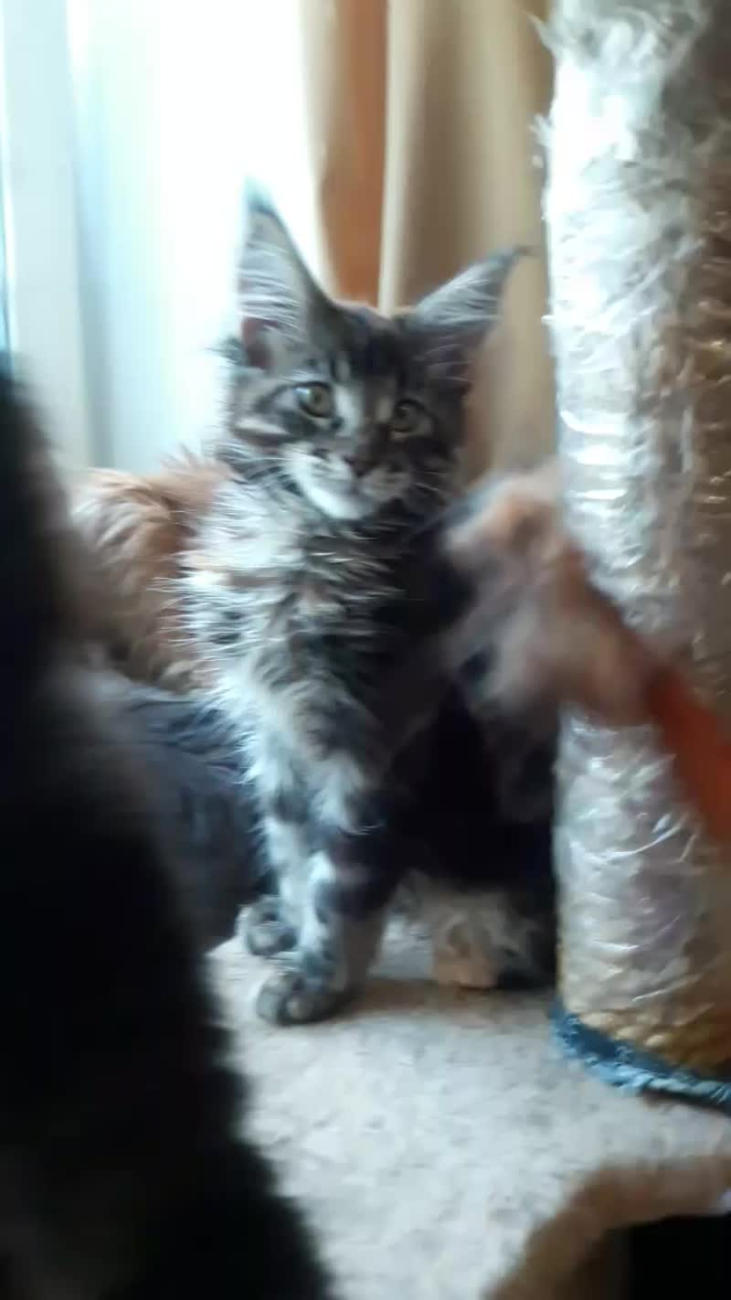 Свободные котята гигантской породы кошек Мейн кун из питомника!