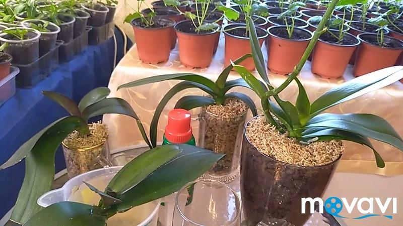 Реанимация Орхидей в керамзит ЦеоФлора, ответы на вопросы