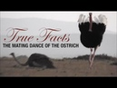 True Facts Mating Dance of the Ostrich