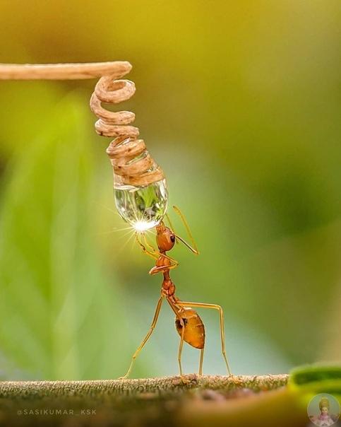 Портреты насекомых Саси Кумара. Саси Кумар фотограф из Индии, который делает удивительные макрофото насекомых на телефон. Делать снимки телефоном со съемным макрообъективом сложнее, чем обычной