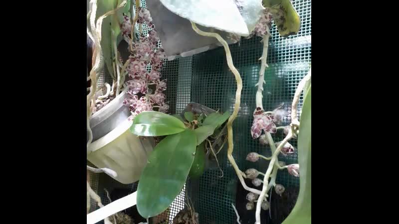 Phalaenopsis gigantea цветет у нас в оранжерее