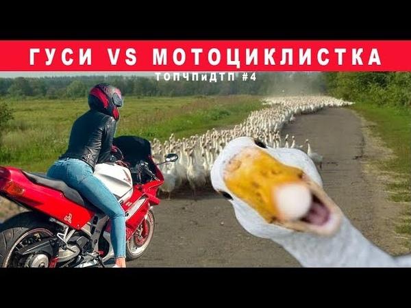Гуси против мотоциклистки ТОПЧПиДТП 4