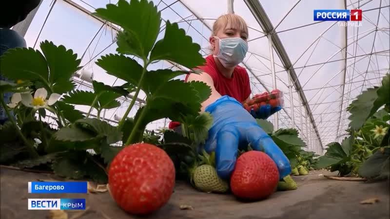 Крымские фермеры приступили к сбору первой клубники Почему зарубежным сортам весенней ягоды по душе именно в Крыму