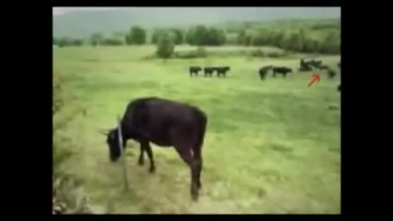 Flying Saucer takes a Cow 1983