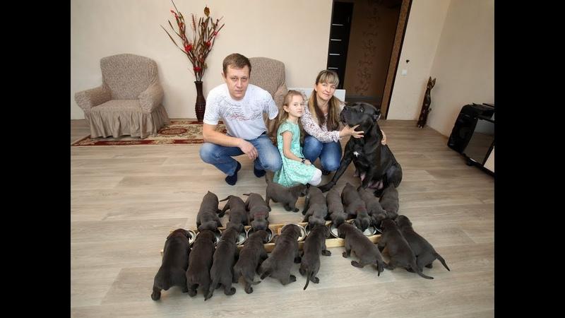 В Воронеже собака породы кане корсо родила 19 щенков