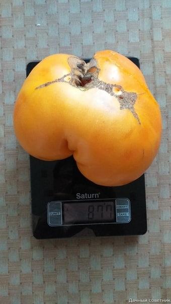 Вот это помидорчик А какие рекорды были у вас