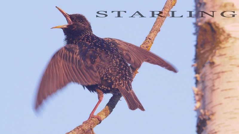 Starling. Singing and chirping bird.