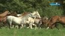 Shael Stud part 3. Akhal-Teke breed, Ахалтекинская порода лошадей.
