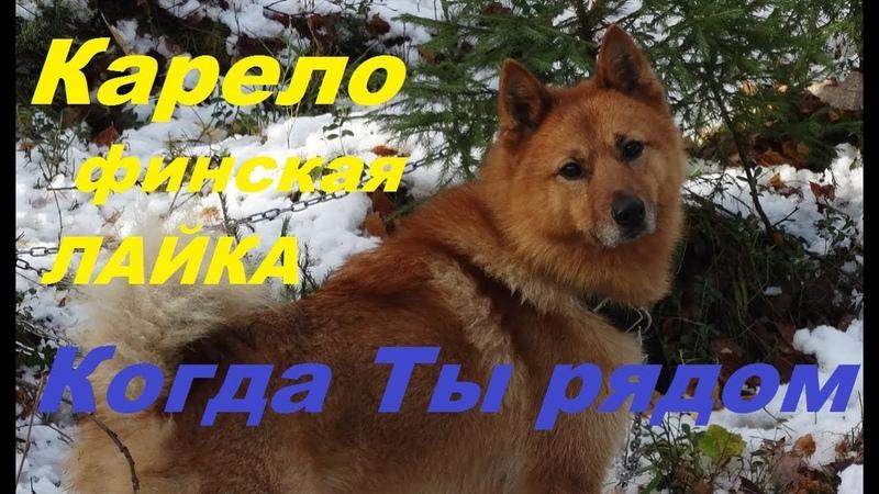 Карело финская лайка Когда Ты рядом Karelo Finnish Laika When you near