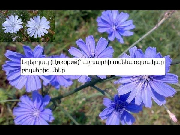 Եղերդակ Цикорий ՝ աշխարհի ամենաօգտակար բույսեր 13