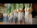 Trồng tỏi - phương pháp mới mà người làm vườn lỡ quên | Planting garlic - new method of gardeners