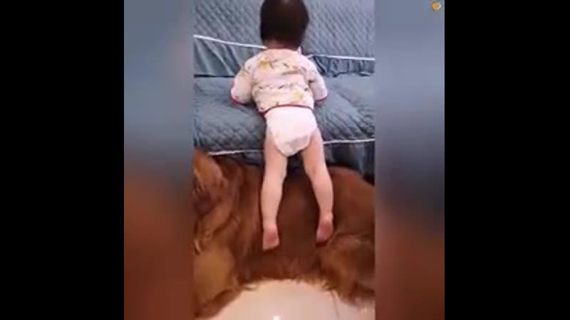 Sweet Golden Retriever Nanny Dog Cares for Little