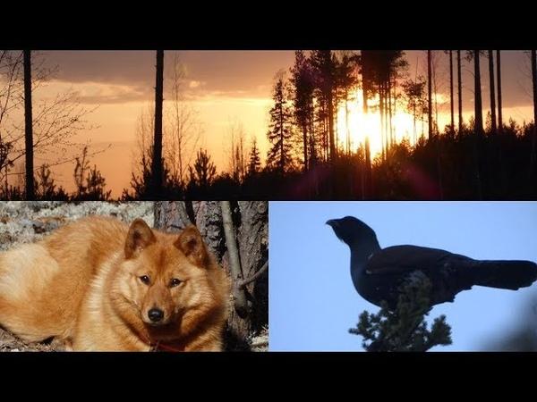 Весна 2019 Карело финская лайка Spring 2019 Karelo Finnish Laika