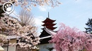 Cherry Blossoms in Japan: 2017 Forecast