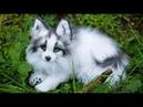 Белая лиса разговаривает/Снежная грузинская лисица/Домашняя лисица и кот/Лиса домашняя/fox/foxs