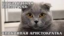 ШОТЛАНДСКАЯ ВИСЛОУХАЯ КОШКА Спокойная аристократка Интересные факты про породы кошек и животных