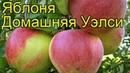 Яблоня домашняя Уэлси Краткий обзор описание характеристик где купить саженцы malus domestica