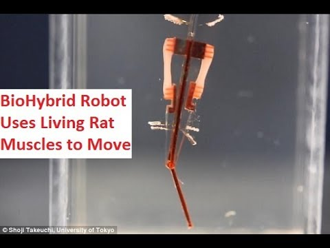 BioHybrid Robot Uses Living Rat Muscles to mimic human fingers