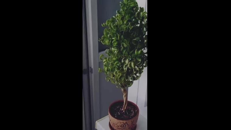 Клип про фикусы