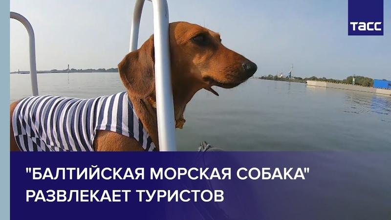 Балтийская морская собака развлекает туристов