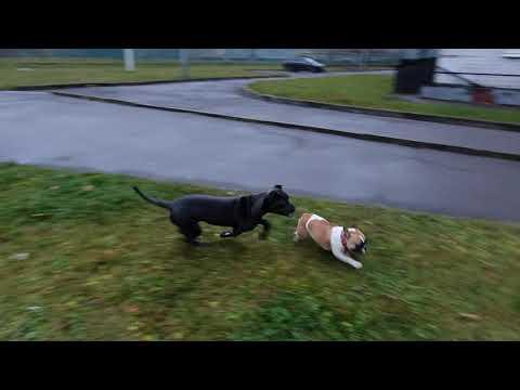 Большие и опасные или жесткая прогулка французского бульдога Big and dangerous French bulldog walk