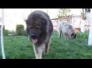 Ни одна собака не сможет победить волка Волк Против Собаки -1