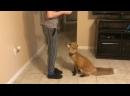 Pet Fox делает трюки