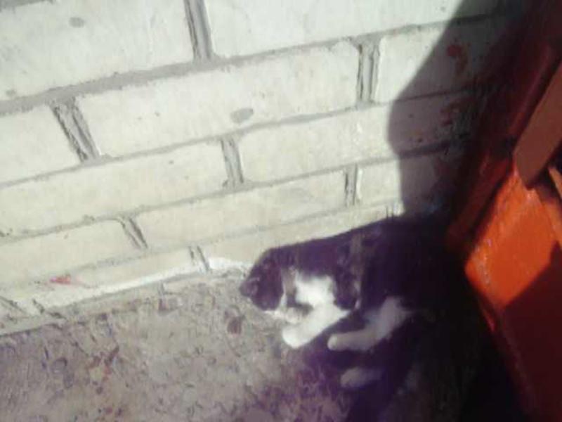 черно - белый котёнок