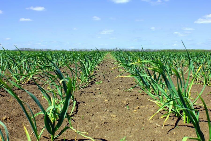 В Удмуртии начали выращивать чеснок в промышленных
