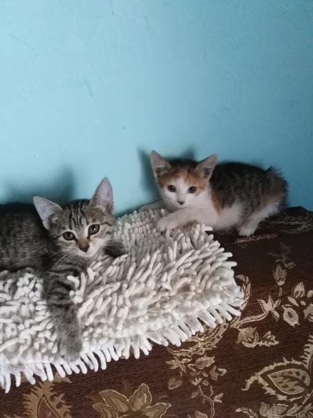 2 котят ищут себе дом и добрых хозяев,которые буду...