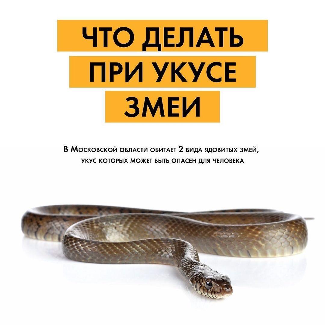 В Московской области широко распространены такие ядовитые змеи, как гадюки