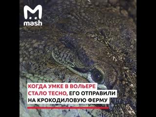 Жители Екатеринбурга во время пандемии подкармливают самого большого крокодила в России.