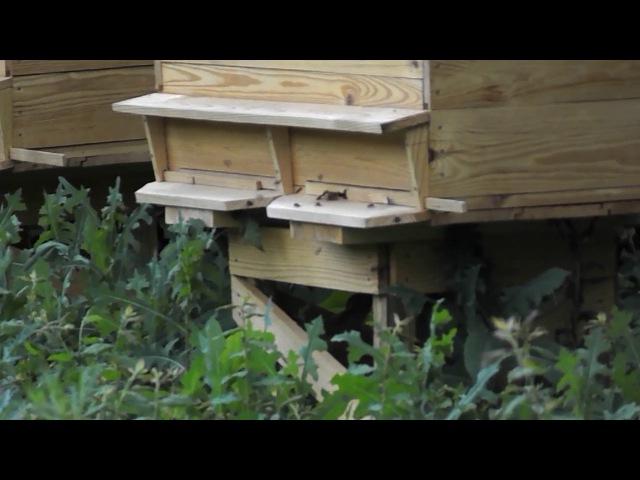 Облет молодой пчелы