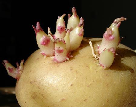 Зачем надрезают клубни картофеля перед посадкой
