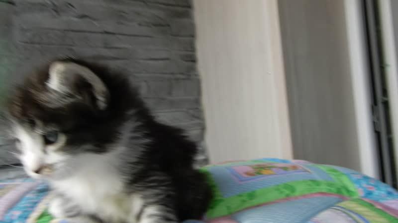 Питомник Норвежской лесной кошки Wes Bure Санкт-Петербург. На Видео юная звезда Brigit Wes Bure 1 месяц (дебют)