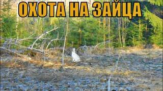 ЗАЯЦ ВЫСКОЧИЛ ИЗ-ПОД НОГ!! Охота на зайца 2020. Охота с подхода.