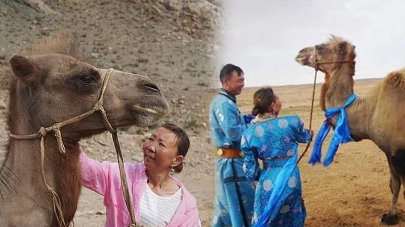 Проданный верблюд проделал долгий путь чтобы вернуться домой
