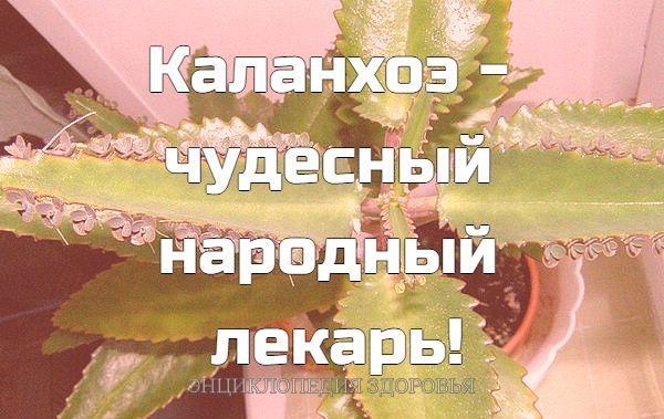 Каланхое перистое - это многолетнее вечнозеленое растение семейства
