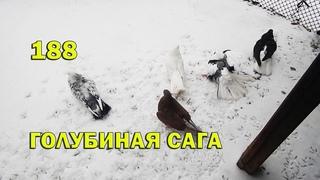 Голуби купаются на снегу под дождём - Голубиная сага - Серия 188