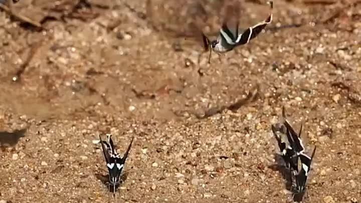 🦋 Lamproptera meges Зеленый хвост дракона один из видов бабочек парусников 📌Южная и Юго Восточной Азия Размах крыльев Lamproptera meges от 4